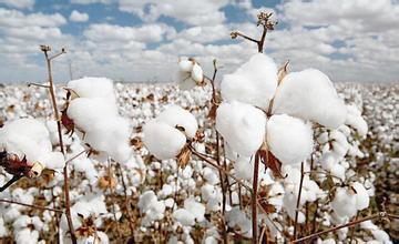儿时记忆:七月半的棉花